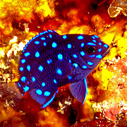 Yellowtail Damselfish, juvenile, inhabit shallowreef tops often in areas with fire coral in Tropical West Atlantic; picture taken Panama - Caribbean side near San Blas Islands.