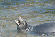 Hawaiian monk seal, Monachus schauinslandi( Critically Endangered ), 2.5 year old male swallows an ambon toby or pufferfish, Canthigaster amboiensis, after rolling it in the sand, possibly to remove noxious mucus; the fish was caught in the ocean, then brought to shore to cleanse it in the sand, then carried back into the water and washed before consumption; Pu'uhonua o Honaunau ( City of Refuge ) National Historical Park, Kona, Hawaii