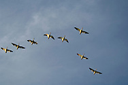 Flock of Ross's Geese flying in classic V formation, Merced National Wildlife Refuge, Central Valley, California
