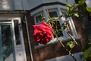 A single red rose grows in the front garden of an Edwardian period semi-detached house in south London sunshine.