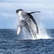 Breaching humpback whale (Megaptera novaeangliae australis) demonstrating incredible power as it launches itself from the ocean