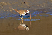 A killdeer (Charadrius vociferus) pulls a worm from the shallow, muddy waters of the Stillaguamish River near Stanwood, Washington.
