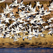 Snow geese morning fly-out at the Bosque del Apache Wildlife Refuge, San Antonio, New Mexico.