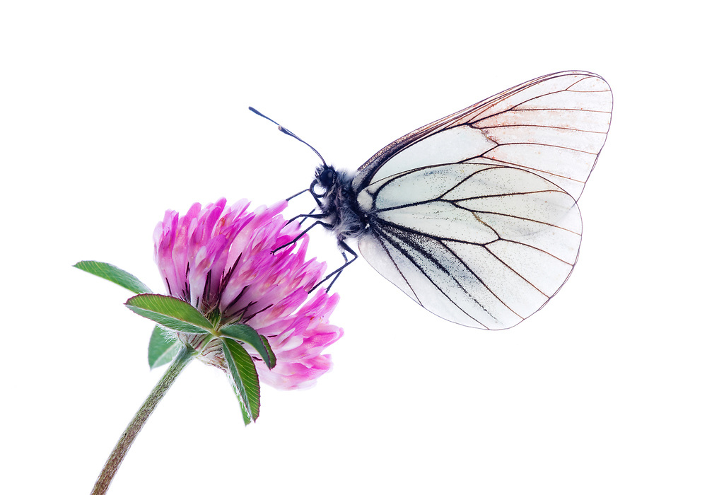 Black veined white butterfly on red clover, Austria