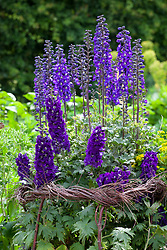 Delphiniums staked with woven birch support in the cutting garden