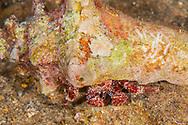 Giant Hermit Crab, Petrochirus diogenes, (Linnaeus, 1758), Grand Cayman