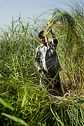 9th May 2014, Yamuna River, New Delhi, India. A handler cuts elephant fodder on an island in the Yamuna River, New Delhi, India on the 9th May 2014<br /> <br /> Elephant handlers (Mahouts) eke out a living in makeshift camps on the banks of the Yamuna River in New Delhi. They survive on a small retainer paid by the elephant owners and by giving rides to passers by. The owners keep all the money from hiring the animals out for religious festivals, events and weddings, they also are involved in the illegal trade of captive elephants.The living conditions and treatment of elephants kept in cities in North India is extremely harsh, the handlers use the banned 'ankush' or bullhook to control the animals through daily beatings, the animals have no proper shelters are forced to walk on burning hot tarmac and stand for hours with their feet chained together. <br /> <br /> PHOTOGRAPH BY AND COPYRIGHT OF SIMON DE TREY-WHITE<br /> + 91 98103 99809<br /> email: simon@simondetreywhite.com photographer in delhi