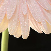 pink petals with water drops on black background