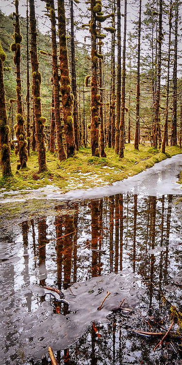 The reflection of Sitka spruce trees in the waters of a thawing swamp. Kodiak Island, Alaska.