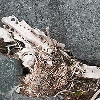 A seal skeleton decays between boulders on Petermann Island, Antarctica.