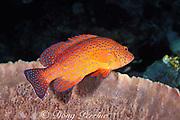 coral grouper, coral hind, or coral trout; <br /> Cephalopholis miniata, in barrel sponge,<br /> Sipadan Island, off Borneo, Malaysia, <br /> ( Celebes Sea )