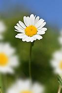 Ox-eye Daisy - Leucanthemum vulgare