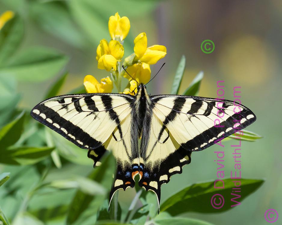 Swallowtail butterfly on yellow pea blossom, Jemez Mountains, NM, © David A. Ponton