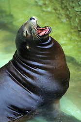 Sea Lion With Mouth Open