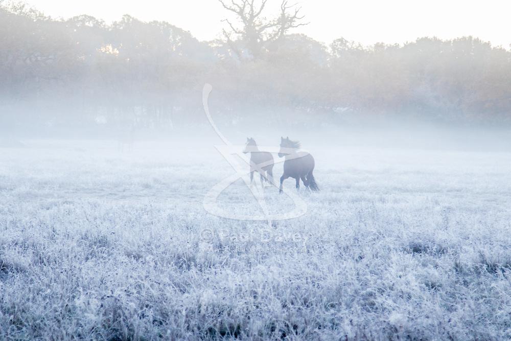 Brokenhurst, Hampshire, UK. November 19th 2016. Horses frolic in the frost and mist near Brockenhurst, Hampshire.