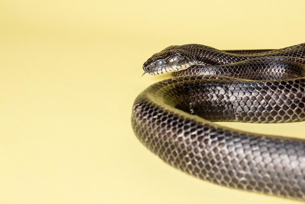 Studio portrait of a black rat snake