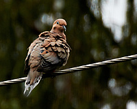 Mourning Dove. Image taken with a Nikon 1 V3 camera and 70-300 mm VR lens.