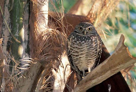 Burrowing Owl, (Athene cunicularia) Florida.