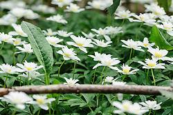 anemoon, anemone
