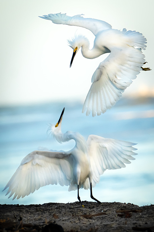 Snowy Egrets dancing in Colombia