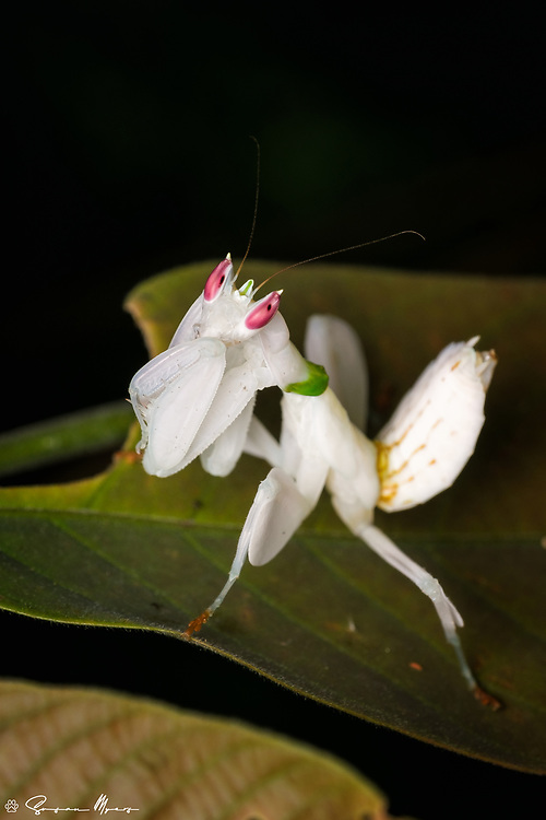 Found in the rain forests of Southeast Asia, this mantis can change its colour between pink and brown, according to the colour of the background. The camouflage of the Orchid Mantis probably deceives potential predators, as well as serving as mimicry of an orchid to help catch insect prey.