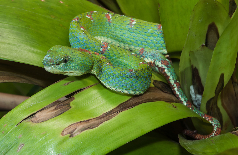Eyelash palm-pitviper (Bothriechis schlegelii) on bromeliad. Venomous snake that reaches to about 80cm in length is mostly arboreal. Feeds on small mammals and birds. The Prehensile tail is reddish brown and can be used to imitate a worm to attract prey towards it.<br /> Esmeraldas, ECUADOR,  South America<br /> Geographic range: Mexico south through Belize, Northern Guatemala, Honduras, Nicaragua, Costa Rica and Panama into South America where it ranges into western Venezuela and western Ecuador.