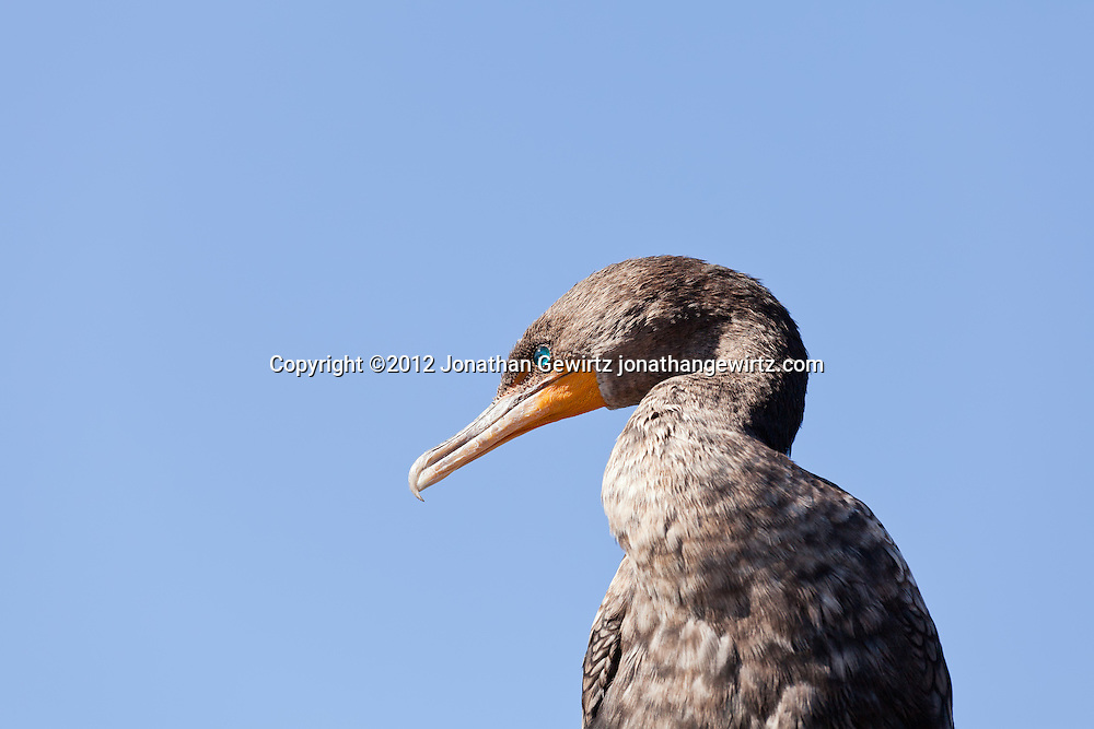A Double-crested Cormorant (Phalacrocorax auritus) on the Anhinga Trail in Everglades National Park, Florida. WATERMARKS WILL NOT APPEAR ON PRINTS OR LICENSED IMAGES.