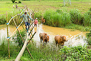 14 JUNE 2013 -  PANTANAW, AYEYARWADY, MYANMAR:  A farmer uses a bridge while he leads his oxen across a canal near Pantanaw, Myanmar. He had been tilling a rice field. After decades of military mismanagement that led to years of rice imports, Myanmar (Burma) is on track to become one of the world's leading rice exporters in the next two years and could challenge traditional rice exporter leader Thailand. Political and economic reforms have improved rice yields and new mills are being built across the country. Burmese eat more rice than any other people in the world. The average Burmese consumes 210 kilos of rice per year and rice makes up 75 percent of the diet.  PHOTO BY JACK KURTZ