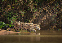 A jaguar, Panthera onca, stalking prey and entering the Cuiaba River, Brazil.