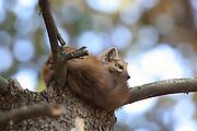 American (Pine) Marten Sleeping in Habitat