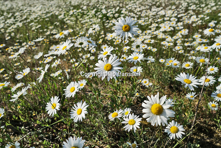 Nederland, Ooijpolder, 23-5-2020 Aan de dijk groeien mooie veldbloemen zoals margrieten in deze lente . Foto: Flip Franssen