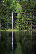 Spring green leaves of birch tree (Betula sp.) growing on side of small and dark lake in forests. Kurzeme, Latvia Ⓒ Davis Ulands   davisulands.com
