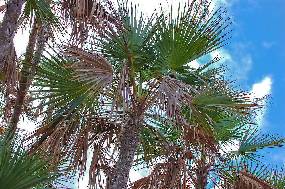 My favorite palm! The paurotis palm is a wonderfully beautiful palm that I have a personal connection to. As I was starting to build my photography business back when I was still living back home in Southwest Florida, I worked in a plant nursery and planted many hundreds of palm trees all over the Fort Myers/Naples area. My favorite was this slender, attractive Caribbean palm found in the wild from the Florida Everglades and the Bahamas, south to Mexico, Central America and as far south as Colombia. The only species in its genus, Acoelorrhaphe wrightii - grows to about 15' to 25' tall in wet habitats and can grow into very rich and shaded thickets form wildlife havens for many species throughout the tropics. These wild paurotis palms were found in Everglades National Park in their natural habitat.