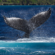 This humpback whale (Megaptera novaeangliae) performing a tail slap is the mother of Tahafa, calf #14 of the 2011 season in Vava'u, Tonga. Calf #14 was one of the injured calves, with multiple wounds that may have been inflicted by a pod of marine mammals, possibly false killer whales (Pseudorca crassidens). I had nine encounters with this mother and calf over a period of 33 days. During that period, a male escort was with them for at least 14 days. The female, calf, escort group traveled from Vava'u to Toku Island and back to Vava'u.