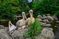 Pelican, Lyon Parc de la Tete d'Or