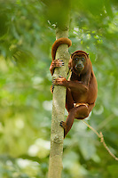 Red Howler Monkey (Alouatta seniculus) in the area above a clay lick visited by Howlers.  Yasuni National Park, Ecuador.