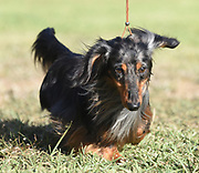 Miniature Longed-haired dachshund at a dog show. Photographed in Israel in May