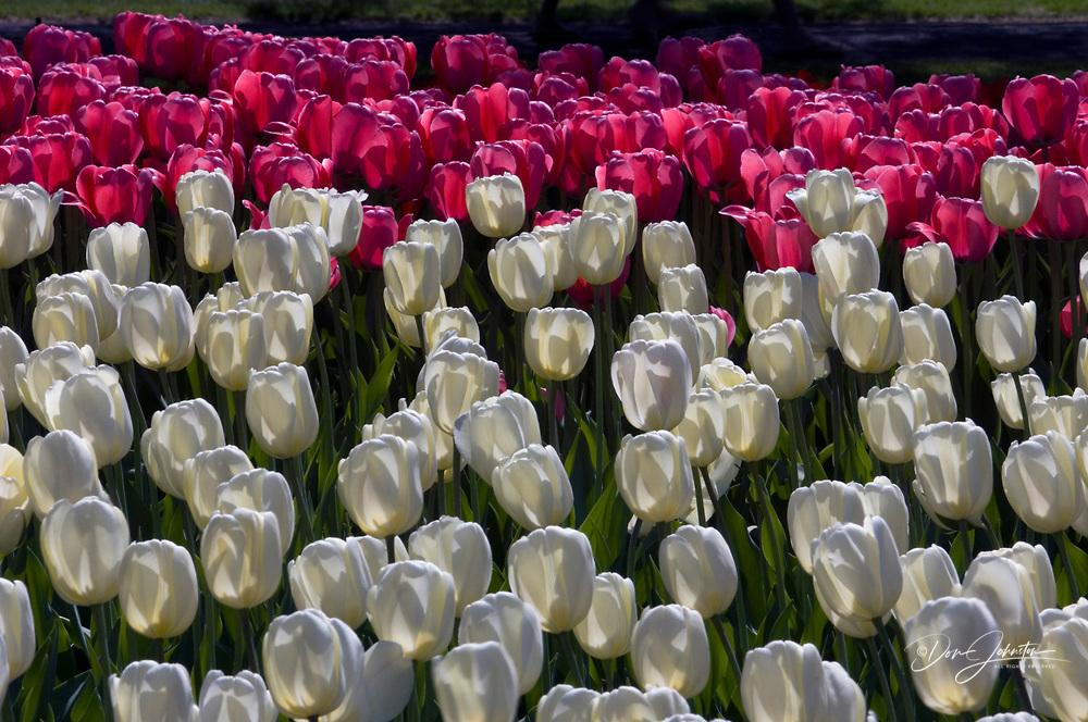 Tulip cultivar. 'White Dream', , Ontario, Canada