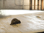 rat sitting in middle of hall path of an old building