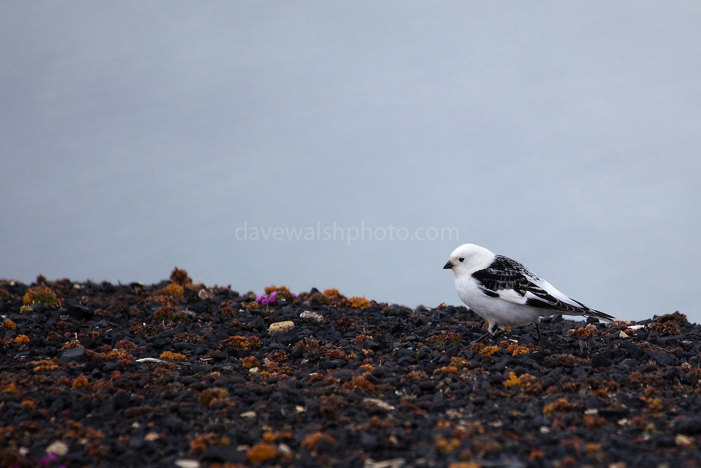 Male Snow Bunting on tundra, with coal fragments from old coalmine at Ny-Alesund, Spitsbergen, Svalbard.