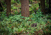 Raccoon (Procyon lotor) out during day time, Washington State.