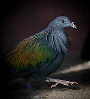 Nicobar Pigeon, (Caloenas nicobarica), captive, credit: Pandemonium Aviaries/M.D.Kern