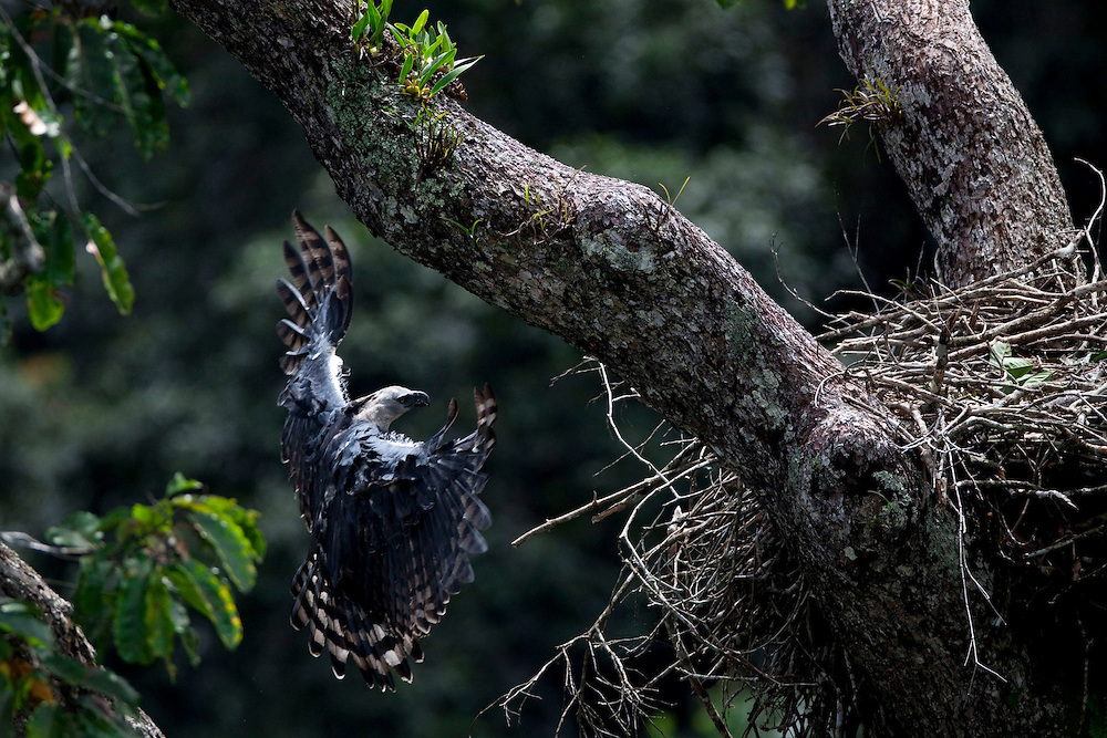 Parauapebas, Para - Brazil..May, 2009..Despite its large size that can reach 2.2 m (7.2 feet) the harpy .shows grace and skill when landing at the nest. ..Photo: Joao Marcos Rosa / Nitro