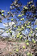 Olives on an olive tree blue sky background