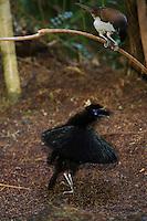 Western Parotia Bird of Paradise (Parotia sefilata)..Arfak Mountains, Papua, Indonesia.