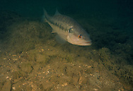 Spotted Bass (Male spotted bass guarding a nest in a Flint Hills stream.)<br /> <br /> garold Sneegas/Engbretson Underwater Photography