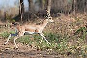 Indian Gazella (Gazella bennettii) in Panna National Park, India.