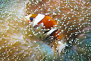 Barrier Reef Anemonefish (Amphiprion akindynos) in Mertens Carpet Sea Anemone (Stichodactyla mertensii) - Agincourt Reef, Great Barrier Reef <br />