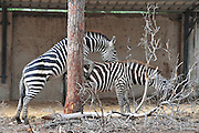 Side view of two Grevy Zebra (Equus grevyi) copulating in captivity .