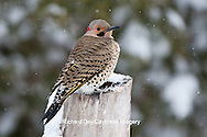 01193-01617 Northern Flicker (Colaptes auratus) male in winter, Marion Co., IL